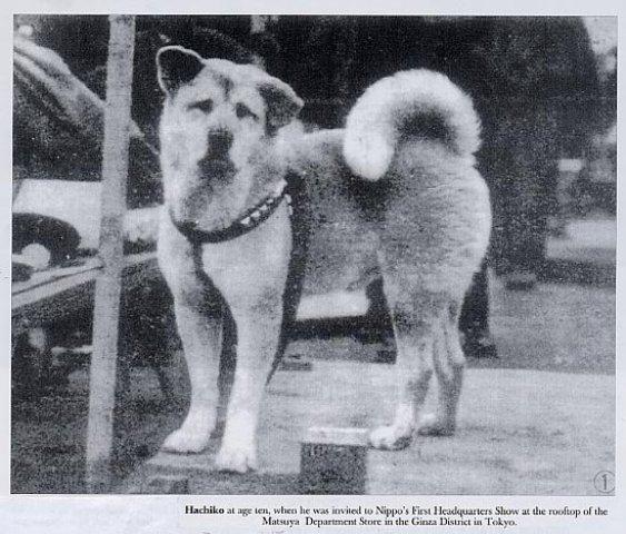 HachikoAkita(7)